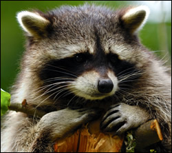 Altamonte Springs raccoon removal