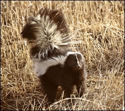 Altamonte Springs skunk removal